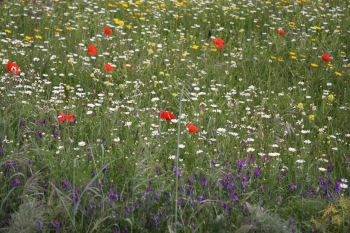 Crete wildflowers